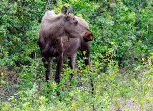 Ein Elch am Alaska Highway