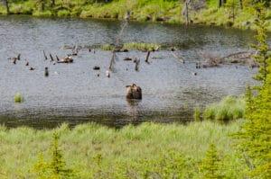 Elch beim Grasen im See