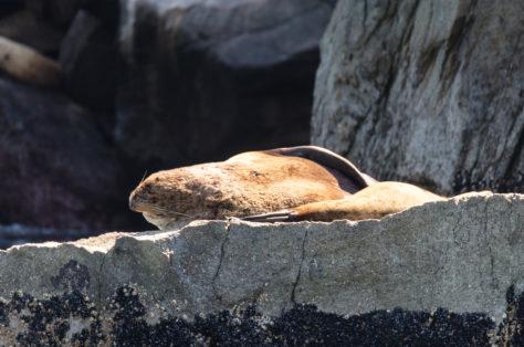 Seelöwe beim Sonnenbad