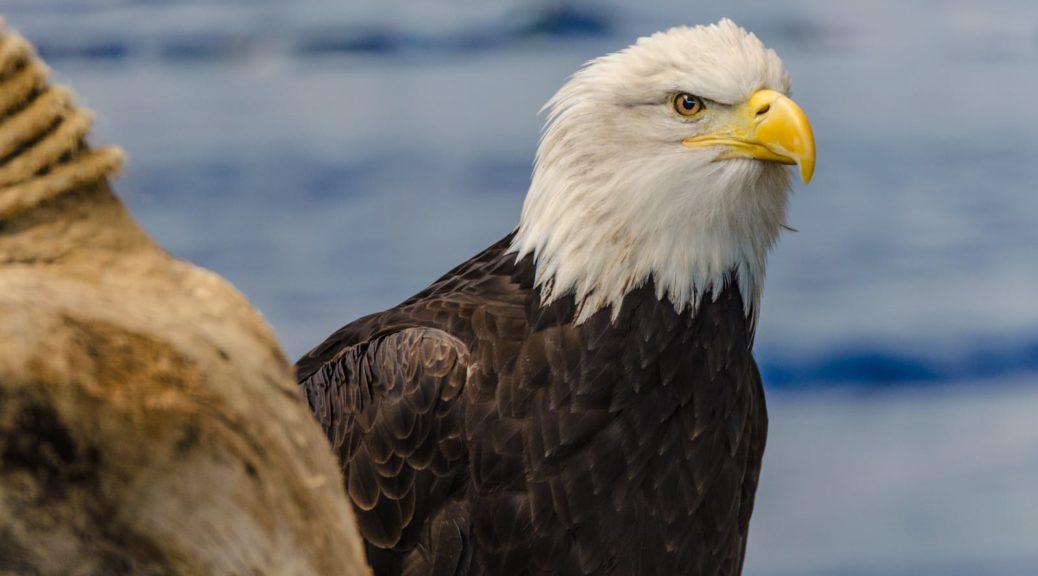 Weißkopfseeadler in der Voliere der American Bald Eagle Foundation