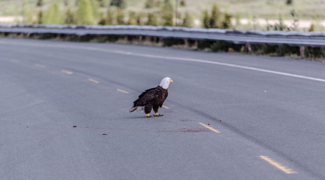 Ein Weißkopfseeadler macht sich über Roadkill her