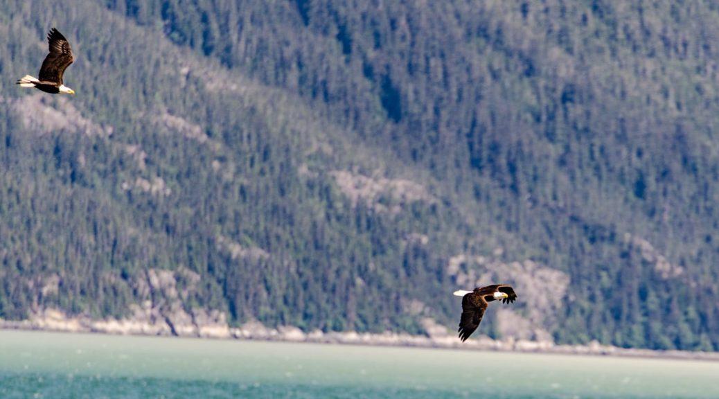 Jagende Weißkopfseeadler in Haines