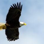 Weißkopfseeadler vor Himmel