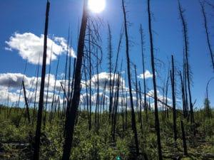 Verbrannte Bäume nach einem Waldbrand